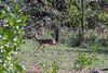 Kirk's dik-dik (Madoqua kirkii, query) running for shelter, Arusha National Park, Tanzania