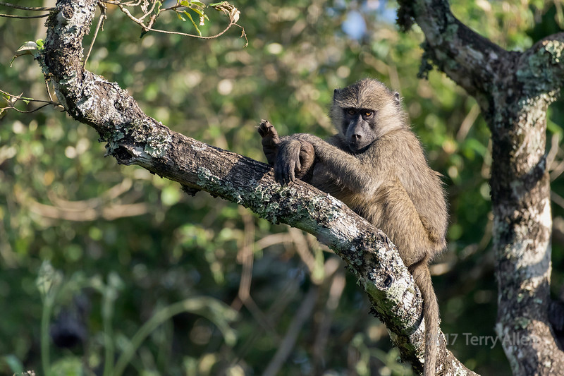 Baby baboon playing in a tree 7, Arusha NP, Tanzania