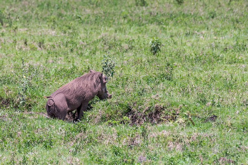 Wart hog (Phacochoerus africanus) walking through the bush 4, Arusha NP, Tanzania