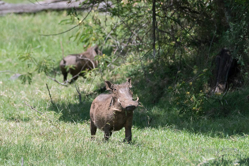 Dominant male wart hog (Phacochoerus africanus) feeding on grass, Arusha NP, Tanzania