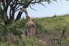 Masai giraffe (Giraffa tippelskirchi) by a large tree, Arusha NP, Tanzania