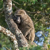 Mother baboon in tree, Arusha NP, Tanzania