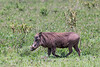 Wart hog (Phacochoerus africanus) walking through the bush 2, Arusha NP, Tanzania