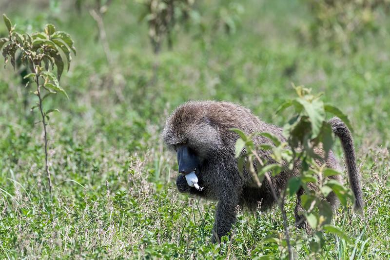 Baboon eating wild mushroom, Arusha NP, Tanzania