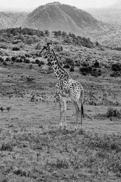 Masai giraffe near Mount Meru BW, Arush National Park, Tanzania