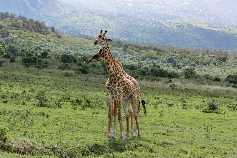 Two young Masai giraffes interacting together 4, near Mount Meru, Arusha NP, Tanzania