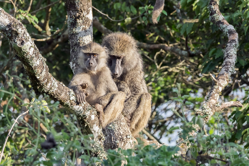 Baby baboon with its mom
