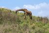 Masai giraffe (Giraffa tippelskirchi) stooping to eat, Arusha NP, Tanzania