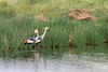 Pair of Grey crowned crane (Balearica regulorum) hunting in the reeds 1, Momelo Lakes, Arusha N+P, Tanzania