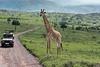 Masai giraffe waiting to cross the road, Arush National Park, Tanzania