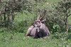 Male waterbuck lying next to bushes 2, Arusha NP, Tanzania