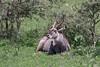 Male waterbuck lying next to bushes 2, Arusha NP, Tanzania
