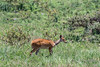 Female bush buck (Tragelaphus scriptus) walking through the bush, Arusha NP, Tanzania