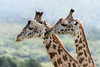 Portrait of a pair of young Masai giraffes, Arusha National Park, Tanzania