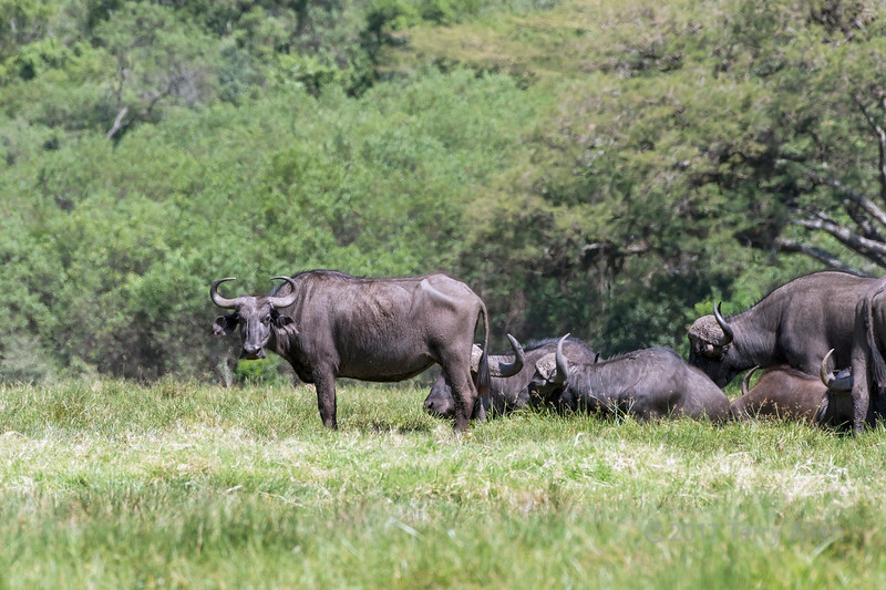 Female Cape buffalo (Sncerus caffer) standing in front of a small herd, Arusha NP, Tanzania