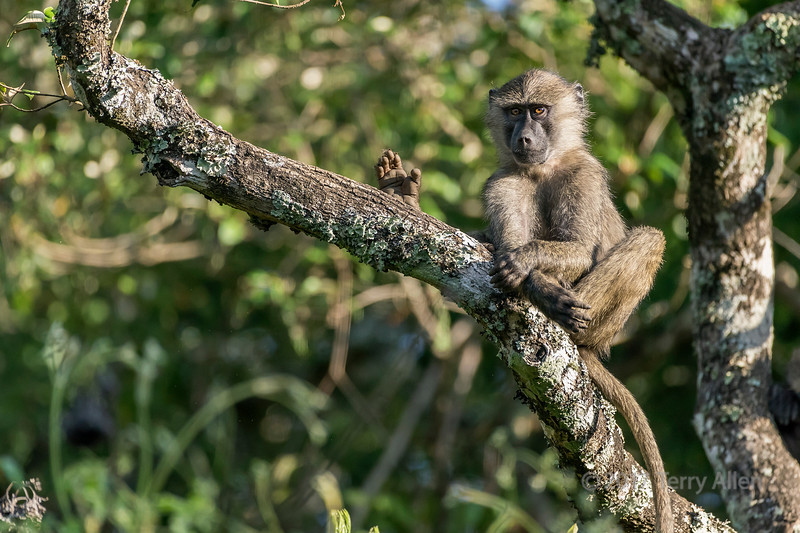 Baby baboon playing in a tree 8, Arusha NP, Tanzania