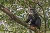 Blue monkey (Cercopithecus mitis) high in tree below Mount Meru, Arusha NP, Tanzania