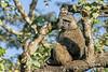 Female baboon in tree, Arusha National Park, Tanzania