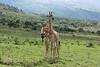 Two young Masai giraffes interacting together 5, near Mount Meru, Arusha NP, Tanzania