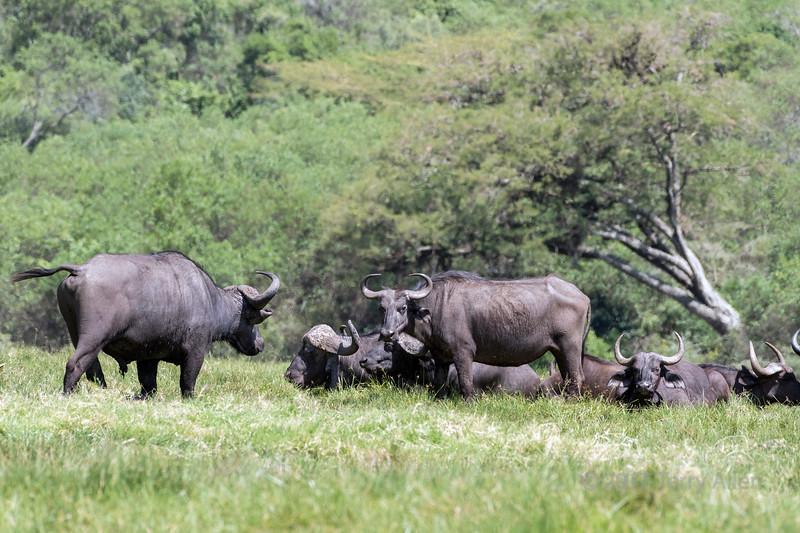 Small herd of Cape buffalo (Syncerus caffer), Arusha NP, Tanzania