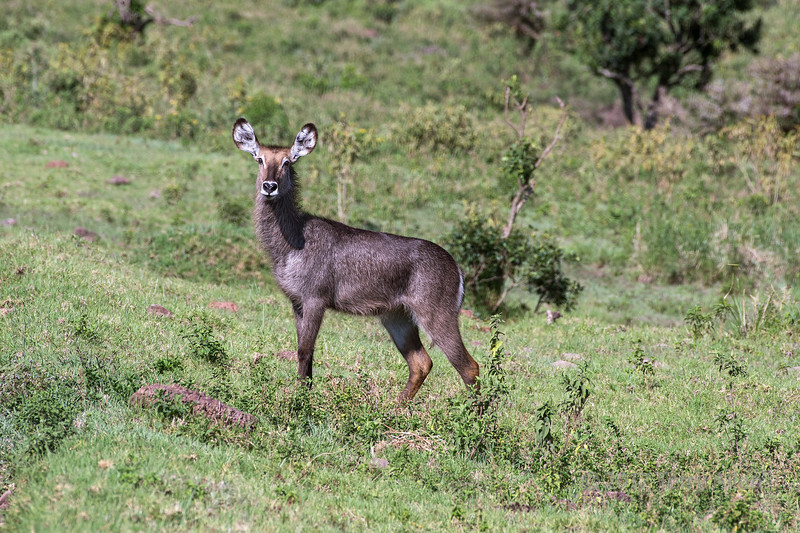 Female waterbuck (Kobus ellipsipymnus) 5, Arusha National Park, Tanzania