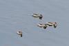 Cape teal ducks (Anas capensis), Momela Lake, Arusha National Park, Tanzania
