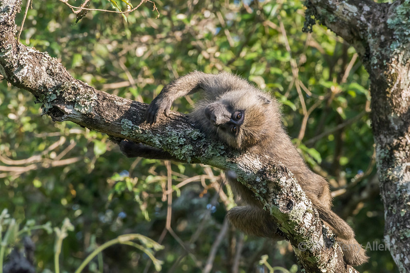Playful baby baboon