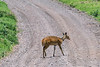 Female bush buck (Tragelaphus scriptus) crossing the road, Arusha NP, Tanzania