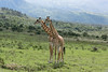Two young Masai giraffes interacting together 6, near Mount Meru, Arusha NP, Tanzania