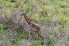Masai giraffe walking through the bush, Arusha National Park, Tanzania