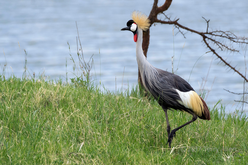 Grey crowned crane (Balearica regulorum) on the lake bank 2, Momelo Lakes, Arusha National Park, Tanzania