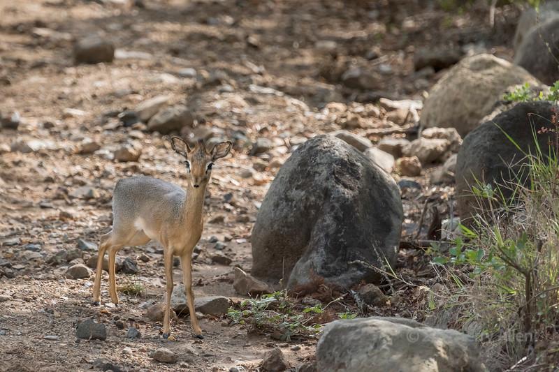 Kirk's dik-dik (Madoqua kirkii, query), Arusha National Park, Tanzania