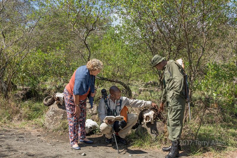 Guide and tourist examiningbuffalo skulls with a ranger 2, Arusha NP, Tanzania