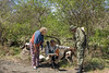 Guide and tourist examiningbuffalo skulls with a ranger 2, Arusha NP, Tanzania