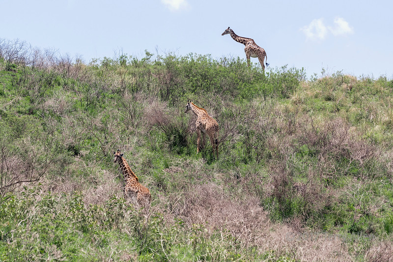 Three Masai giraffe on a hillside, Arusha National Park, Tanzania