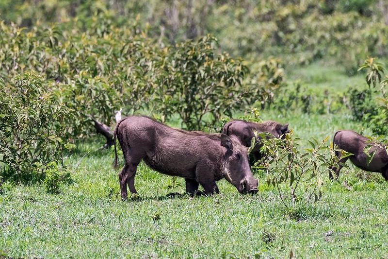 Wart hog (Phacochoerus africanus) kneeling to eat, Arusha NP, Tanzania