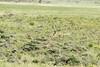 Grazing Masai giraffe near Mount Meru, Arusha NP, Tanzania