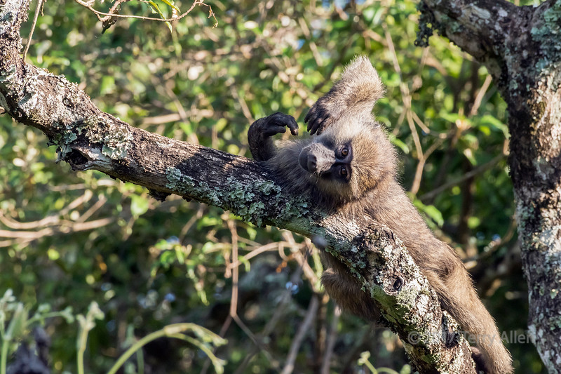 Baby baboon playing in a tree 4, Arusha NP, Tanzania