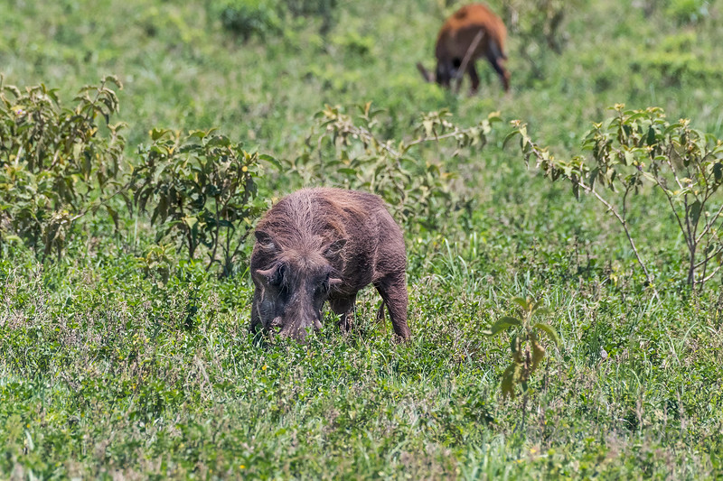 Wart hog feeding in the long grasses, Arusha NP, Tanzania