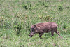 Wart hog (Phacochoerus africanus) walking through the bush 3, Arusha NP, Tanzania