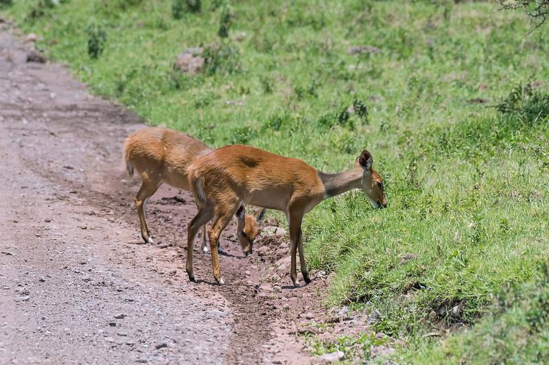 Pair of young female bushbucks (Tragelaphus scriptus) grazing the road, Arusha NP, Tanzania