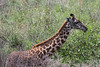 Baby Masai giraffe eating leaves, Arusha National Park, Tanzania
