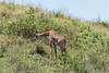 Masai giraffe feeding on hillside, Arusha National Park, Tanzania
