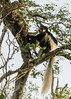 Black-and-whte colobus monkey (Colobus guereza) in a tree, early morning, Arusha National Park, Tanzania