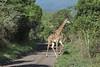 Giraffe on the road 4, Arusha NP, Tanzania