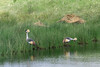 Pair of Grey crowned crane (Balearica regulorum) hunting in the reeds 2, Momelo Lakes, Arusha NP, Tanzania