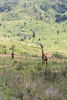Distant giraffes on the lower slopes of Mount Meru, Arusha NP, Tanzania