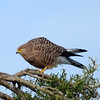 Common Kestrel?