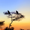 Vultures silhouetted in tree.
