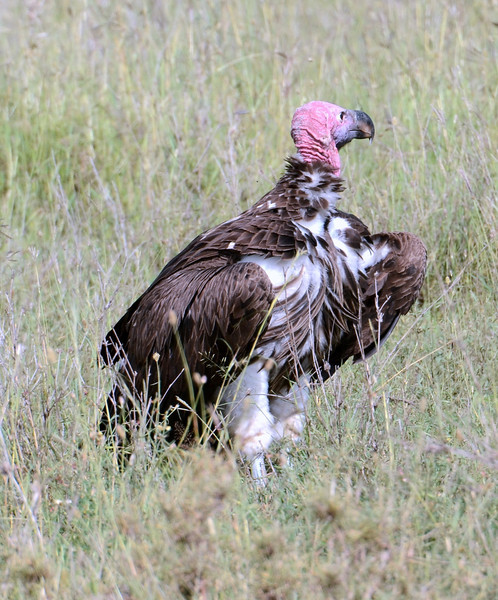 Lappet-faced Vulture?